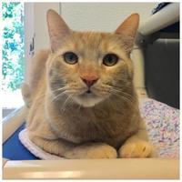 Adopt A Pet :: Han Solo - Sanford, NC