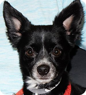 Chihuahua Mix Dog for adoption in Spokane, Washington - Liam