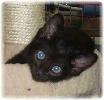 Bombay Kitten for adoption in Naples, Florida - Ford