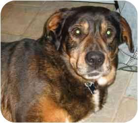 Rottweiler/Hound (Unknown Type) Mix Dog for adoption in Raritan, New Jersey - Chino