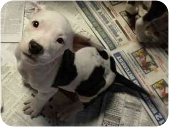 American Bulldog Mix Puppy for adoption in Hammonton, New Jersey - Inky