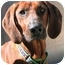 Photo 1 - Redbone Coonhound Dog for adoption in Chicago, Illinois - June