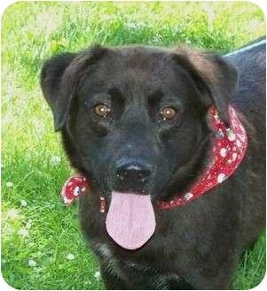 Australian Shepherd/Labrador Retriever Mix Dog for adoption in Lexington, Missouri - Maverick