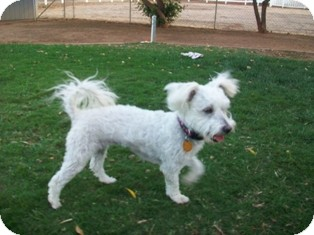 Maltese/Poodle (Miniature) Mix Dog for adoption in Tustin, California - Bella