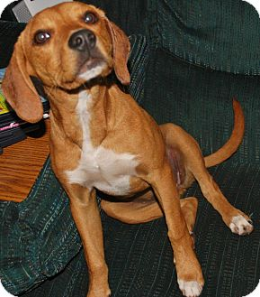 American Staffordshire Terrier/Terrier (Unknown Type, Small) Mix Dog for adoption in Evansville, Indiana - Cypress