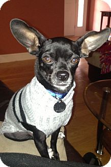 Chihuahua/Miniature Pinscher Mix Dog for adoption in Nashville, Tennessee - Gizmo