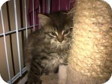 Domestic Longhair Kitten for adoption in East Brunswick, New Jersey - Brandon