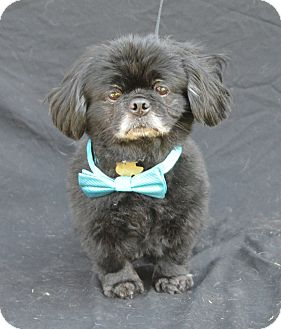 Pekingese/Poodle (Miniature) Mix Dog for adoption in Plano, Texas - Bo
