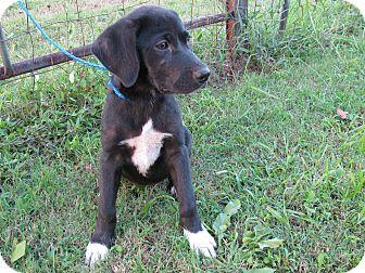Springer Spaniel/Labrador Retriever Mix Puppy for adoption in Bedminster, New Jersey - Zephyr