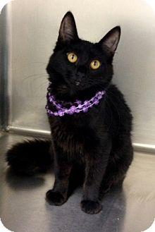 Domestic Mediumhair Kitten for adoption in Dublin, California - Charlotte