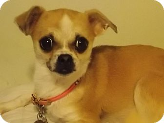 Chihuahua Mix Dog for adoption in San Diego, California - Libby
