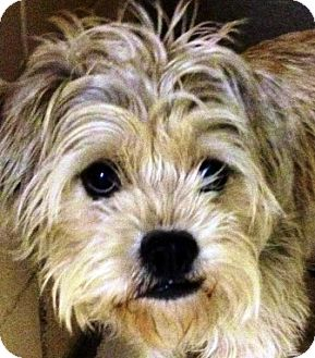 Maltese/Shih Tzu Mix Dog for adoption in Oswego, Illinois - Betty Boop