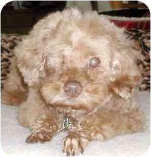 Poodle (Miniature) Dog for adoption in Rolling Hills Estates, California - Donner