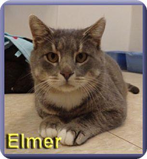 Domestic Shorthair Cat for adoption in Aldie, Virginia - Elmer