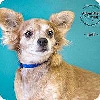 Adopt A Pet :: Joel - Higley, AZ
