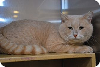 Domestic Shorthair Cat for adoption in Conyers, Georgia - Stewart