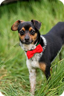 Jack Russell Terrier/Rat Terrier Mix Puppy for adoption in Auburn, California - Noodles