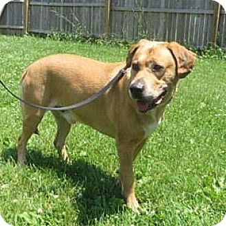 Labrador Retriever Mix Dog for adoption in Janesville, Wisconsin - Gilbert