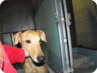 Greyhound Mix Dog for adoption in Napoleon, Ohio - Star