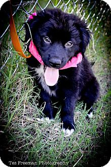 Border Collie Mix Puppy for adoption in Muldrow, Oklahoma - Chelsea