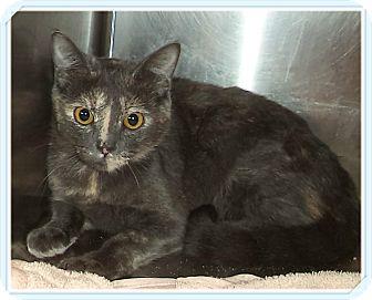 Domestic Shorthair Cat for adoption in Marietta, Georgia - MINGLE