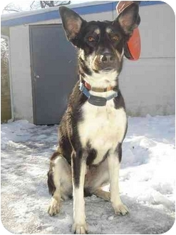 German Shepherd Dog/Husky Mix Dog for adoption in BRIDGEPORT, Connecticut - Kissie