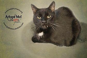 Polydactyl/Hemingway Cat for adoption in Belton, Missouri - Reno