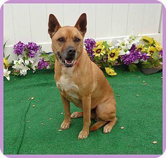 Shepherd (Unknown Type)/Labrador Retriever Mix Dog for adoption in Marietta, Georgia - MARLEY (R)