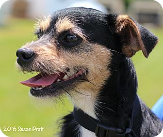 Wirehaired Fox Terrier Mix Dog for adoption in Bedford, Virginia - Shadow
