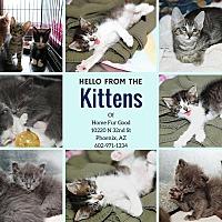 Domestic Shorthair Kitten for adoption in Phoenix, Arizona - KITTENS!
