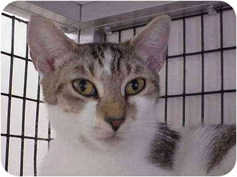 Domestic Shorthair Cat for adoption in Deerfield Beach, Florida - Dana