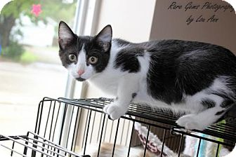 American Shorthair Kitten for adoption in Flora, Illinois - Rick