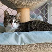 Domestic Shorthair Cat for adoption in Freeport, New York - Cocoa