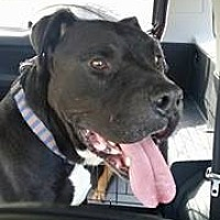Pit Bull Terrier Mix Dog for adoption in Durham, North Carolina - Humphrey