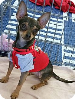 Miniature Pinscher/Toy Fox Terrier Mix Puppy for adoption in Phoenix, Arizona - Antony