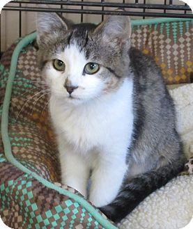 Domestic Shorthair Kitten for adoption in Glenwood, Minnesota - Virgo