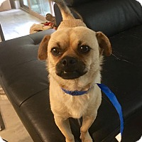 Adopt A Pet :: Pac-Man - Austin, TX