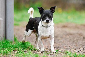 Rat Terrier Mix Dog for adoption in Virginia Beach, Virginia - Nicholas