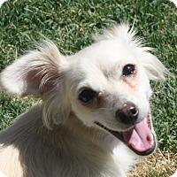Adopt A Pet :: Bailey - Henderson, NV