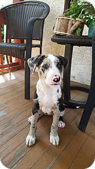 Catahoula Leopard Dog Mix Puppy for adoption in Colmar, Pennsylvania - Aria