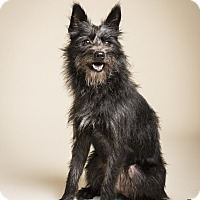 Schnauzer (Miniature) Mix Dog for adoption in Bedminster, New Jersey - Sprinkles