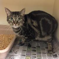 Domestic Shorthair/Domestic Shorthair Mix Cat for adoption in Luling, Louisiana - Nina