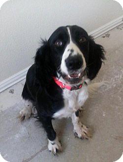 English Springer Spaniel Dog for adoption in Denton, Texas - Shine