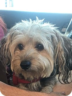 Yorkie, Yorkshire Terrier/Poodle (Miniature) Mix Dog for adoption in Canoga Park, California - Rudy Valentine