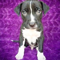 Adopt A Pet :: Apollo - Fredericksburg, TX