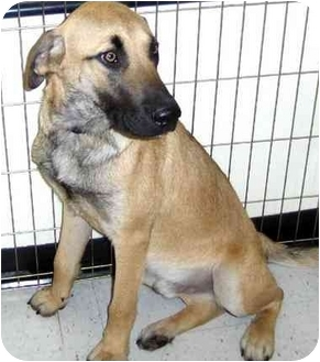 Shepherd (Unknown Type) Mix Dog for adoption in Overland Park, Kansas - Clyde