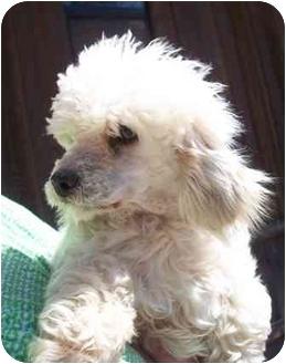 Cockapoo Mix Dog for adoption in Broken Bow, Oklahoma - Buffy