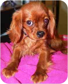 Cavalier King Charles Spaniel Puppy for adoption in Osseo, Minnesota - Rollie