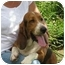 Photo 3 - Basset Hound Dog for adoption in Folsom, Louisiana - Cletus