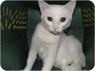 Domestic Shorthair Cat for adoption in Oklahoma City, Oklahoma - Clara